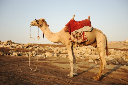 arabic desert: Camel Stock Photo