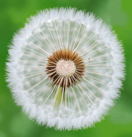 Dandelion Stock Photo - 14593881
