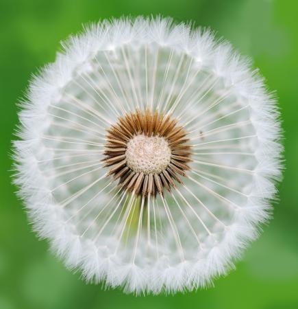 Dandelion Stock Photo - 14593881