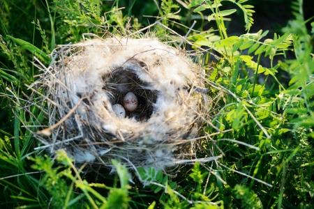 birds nest: Bird nest with eggs Stock Photo