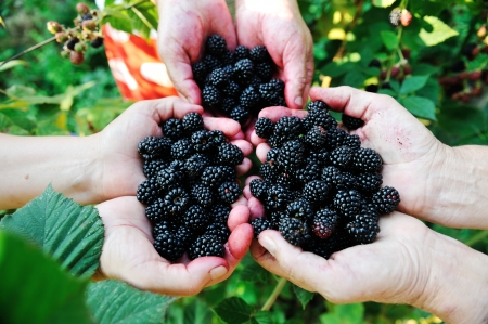 Blackberry harvest collecting photo
