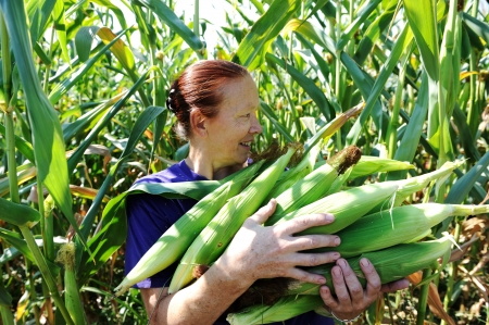 Peasant woman collecting corncobs at field photo