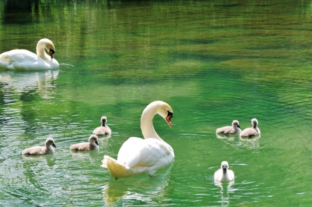birds lake: Family of swans
