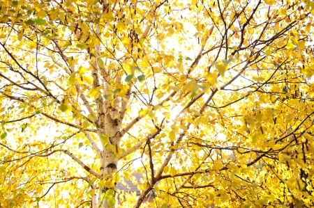 saturate: Fall trees and yellow leaves background