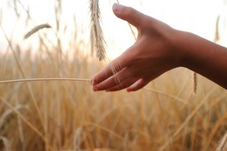 Kid at wheat field Stock Photo - 18477950