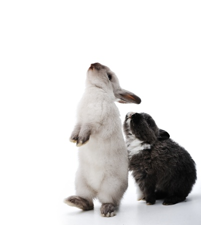 Two rabbits bunny isolated on white background with copy space