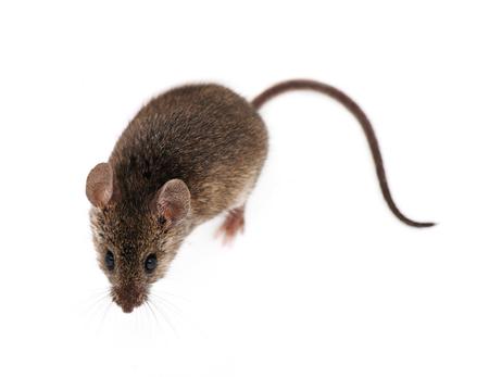 rata: Ratón aislados sobre fondo blanco Foto de archivo
