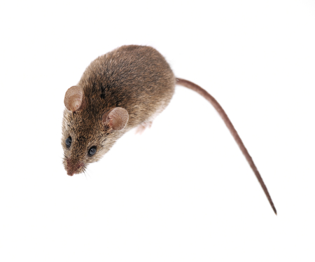Mouse isolated on white background photo