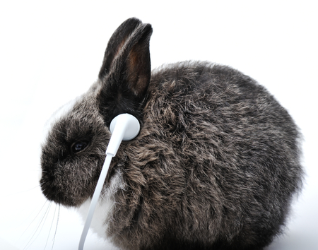 flemish: Young rabbit listening to music on headphones Stock Photo