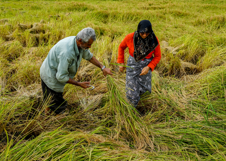 Old farmer working on rice plantation photo
