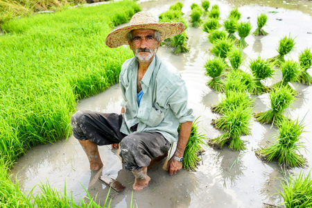 old farmer: Portrait of old farmer working on rice plantation Stock Photo