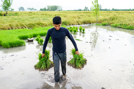 young farmer: Young farmer working on rice plantation Stock Photo