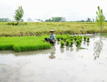 Old farmer working on rice plantation
