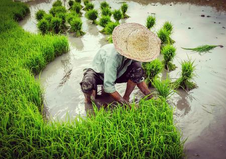 old farmer: Old farmer working on rice plantation