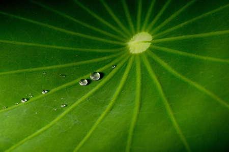dewdrop: dewdrop on lotus leaf