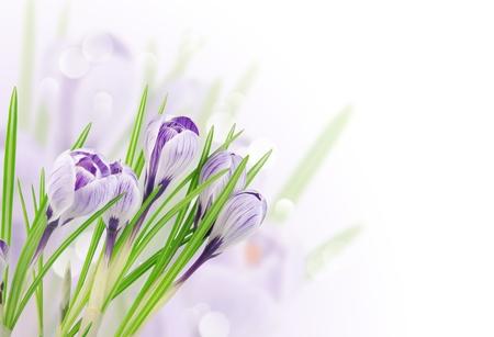 crocus white Stock Photo