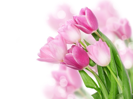 tulips isolated on white background: Tulip flowers postcard concept  Stock Photo