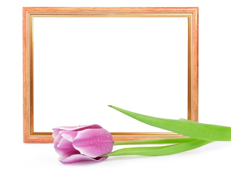 frame with tulip isolated on white