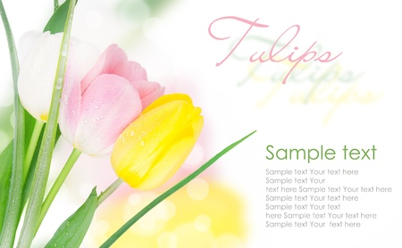 three-colored tulips with copy space isolated on white(1).jpg Stock Photo