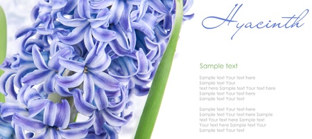 blue hyacinth with copy space isolated on white 3(1).jpg Stock Photo