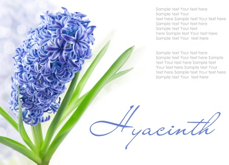 blue hyacinth with copy space isolated on white(1).jpg