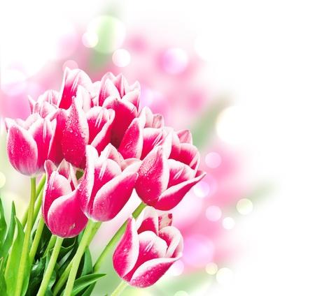 dia soleado: Frescas flores de primavera de tulipanes aislados en blanco