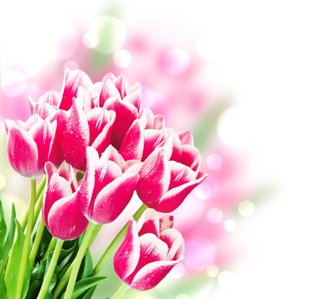 womens day: Fresh spring tulip flowers isolated on white Stock Photo