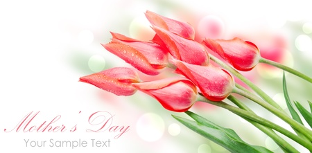 Tulip flowers isolated on white photo
