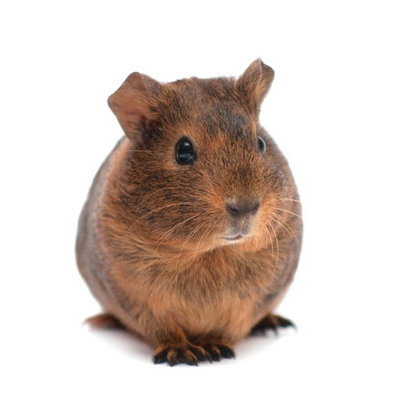 Brown guinea pig isolated on white photo