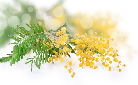 Mimosa flower isolated on white photo