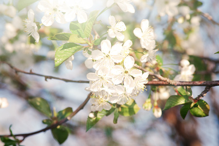 Beautiful spring cherry flowers in full bloom Stock Photo