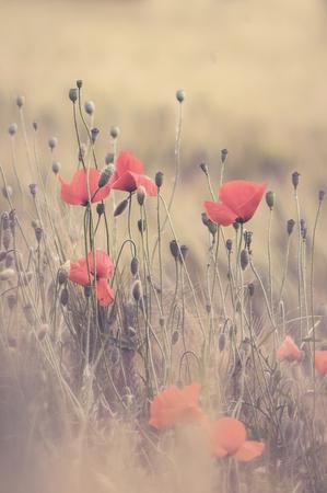 Poppy in the garden 스톡 콘텐츠