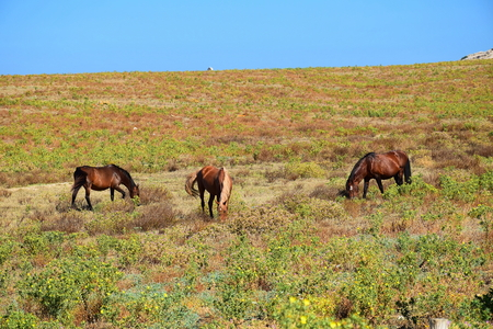 Wild horses grazing in a meadow of dry and prickly plants, Asinara Island, Stintino, Sardinia, Italy