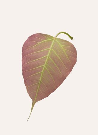 pipal: acklit shot Sacred Fig Tree, Pipal Tree, Bohhi Tree, Bo Tree, Peepul, Ficus religiosa Stock Photo