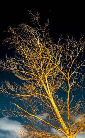 toter baum: Baum ohne Bl�tter in Nacht