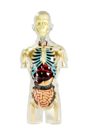 male model torso: Human anatomy on white background