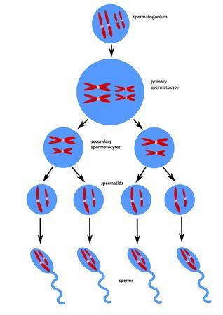 chromosome: Scheme of spermatogenesis