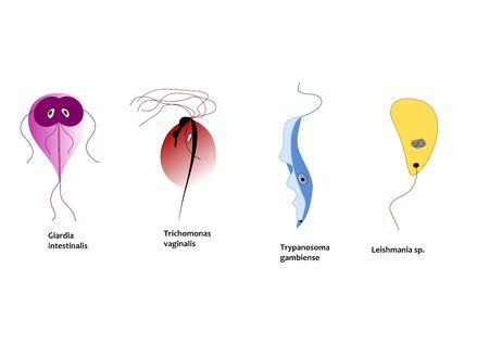 unicellular: Protozoi parassiti infettare persone