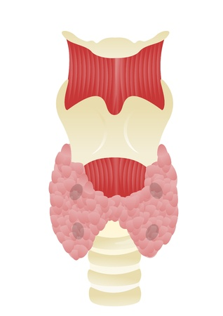 iodine: Parathyroid gland Illustration