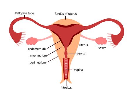 여성 생식 기관 일러스트