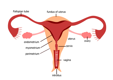 female: Female reproductive system