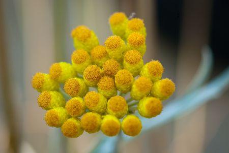 compositae: Strawflower - Compositae helichrysum orientale Stock Photo
