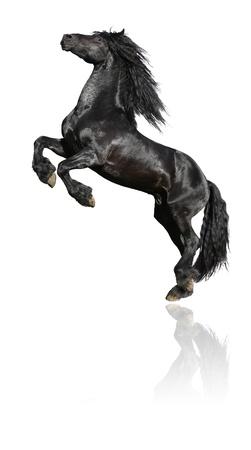 Zwarte steigerende hengst, 7 jaar oud Friese paard, geïsoleerd op wit