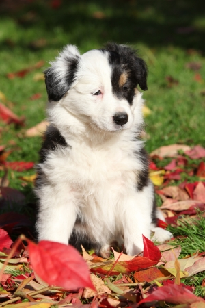 Adorable Border Collie puppy with colorfull autumn leaves photo