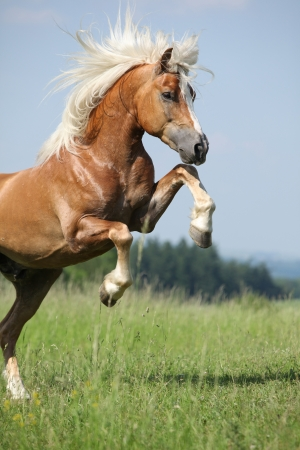 Nice prancing Haflinger stallion on the grass in fron of blue sky photo