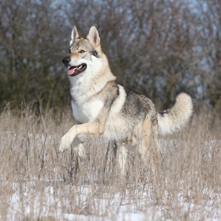 Tsjechoslowaakse wolfhond loopt in de winter