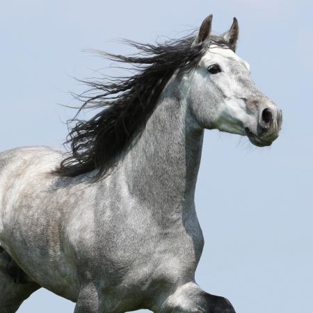 cabeza de caballo: Cabeza de caballo cartujano corriendo con la melena halagador aislado sobre fondo azul