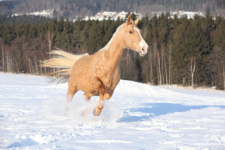 10 years old: Czech warmblood, 10 years old mare, running on the snow Stock Photo