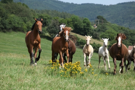 Herd of running horses on pasturage with yellow flowers photo