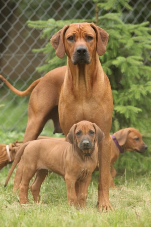 Rhodesian ridgeback bitch with puppies standing on the grass